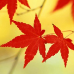 Ý nghĩa chiếc lá phong đỏ rực trên Quốc kỳ Canada